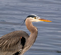 Great Blue Heron - taken at Crescent Beach