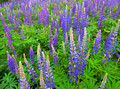 Wild Lupines -These Lupines grow along the Lougheed Highway each year.