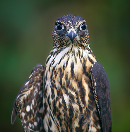 Merlin - A small hawk; the red spots near his beak are bits of meat from a recent feast.